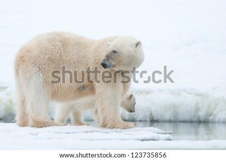 Stock Photo polar bear with cub on ice in Svalbard