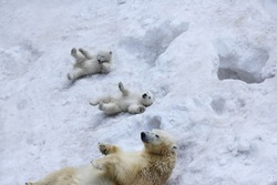 Polar bear with cubs on snow.  Polar bear mom with twins.
