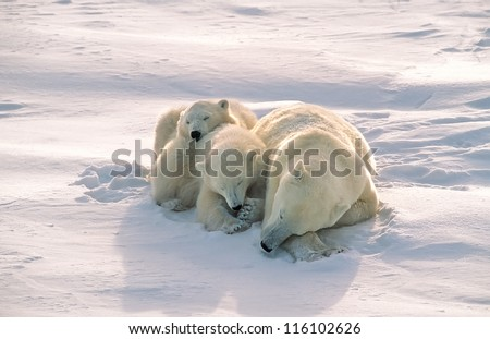 Polar bear with cubs sleeping on Arctic tundra
