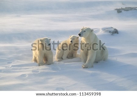 Polar bear with her cubs, blowing snow in strong wind