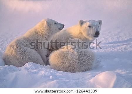 Polar bear with her cubs. Canadian Arctic