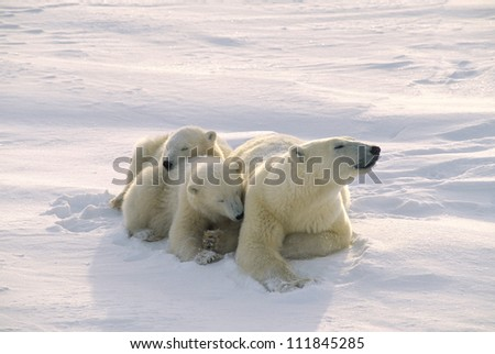 Polar bear with her twin cubs in the Canadian Arctic