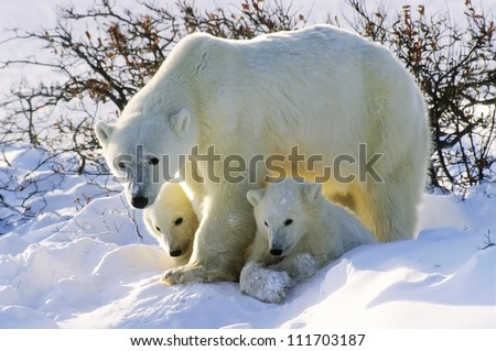 Polar bear with her twin cubs of the year. Canadian Arctic