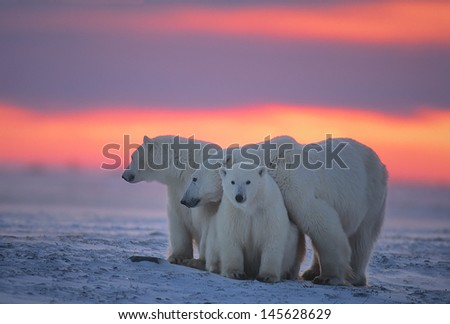 polar bear with her yearling cubs against Arctic sunset