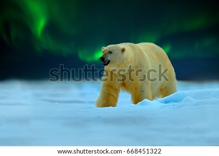 Polar bear with Northern Lights, Aurora Borealis. Night image with stars, dark sky. Dangerous looking beast on the ice with snow, north Canada. Wildlife scene from nature. Cold winter with polar bear. #668451322