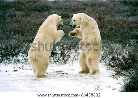 polar bears boxing in tundra near churchilll canada