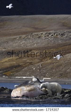 Polar bears feeding on dead sperm whale