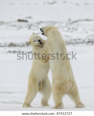 Polar bears fighting on snow have got up on hinder legs.