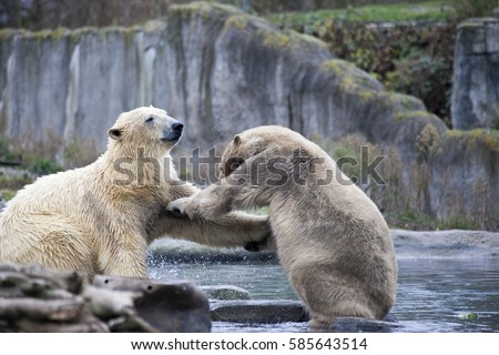 Polar bears on the rocks, cold spring.Two male animals fight and bite.