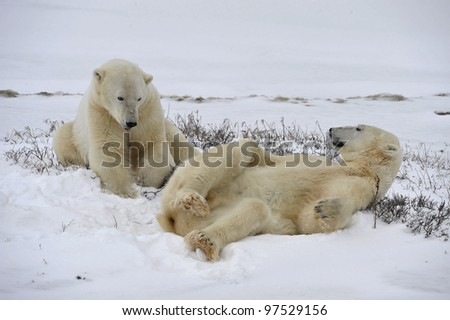 Polar bears playful on the snow.