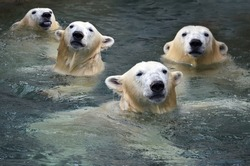 Polar bears swim in the water.