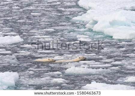 Polar Bears (Ursus maritimus), female and juvenile swimming through the pack ice, Spitsbergen Island, Svalbard Archipeligo, Svalbard and Jan Mayen, Norway #1580463673