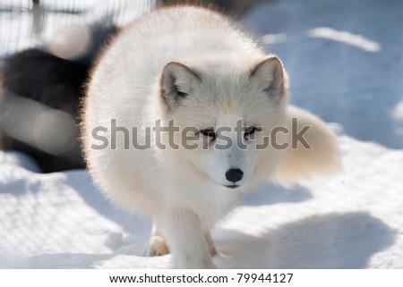 Polar fox (Alopex lagopus) going on snow towards a lens. Looks in a lens - stock photo