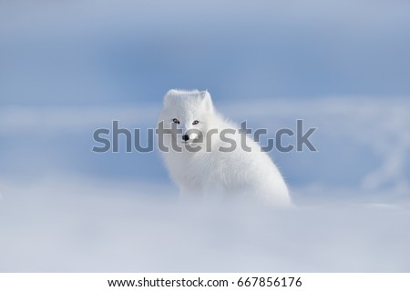 Stock Photo Polar fox in habitat, winter landscape, Svalbard, Norway. Beautiful animal in snow. Sitting white fox. Wildlife action scene from nature, Vulpes lagopus, in the nature habitat. Cold winter with fox.