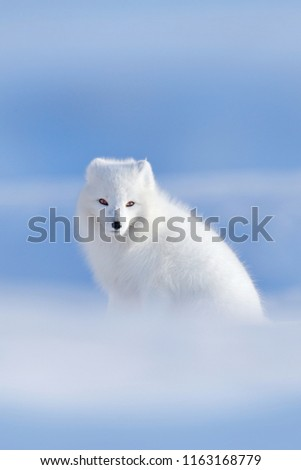 Stock Photo Polar fox in habitat, winter landscape, Svalbard, Norway. Beautiful white animal in the snow. Wildlife action scene from nature, Vulpes lagopus, face portrait of white fur coat fox. Mammal from Europe