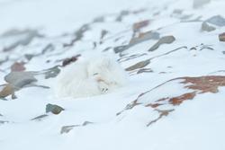 Polar fox sleeping in habitat, winter landscape, Svalbard, Norway. Beautiful white animal in the snow. Wildlife action scene from nature, Vulpes lagopus, face portrait of white fur coat fox.