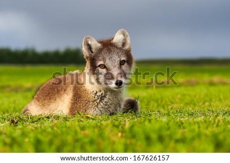 Stock Photo polar fox ( vulpes lagopus ) arctic fox from Iceland,
