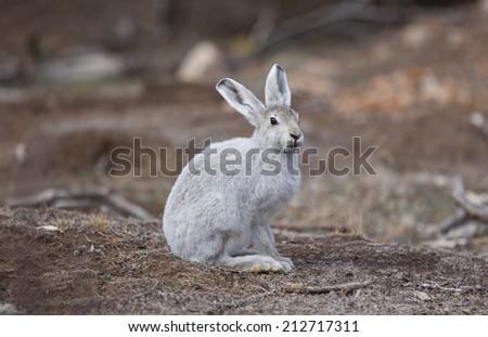 Polar hare in arctic tundra, Greenland