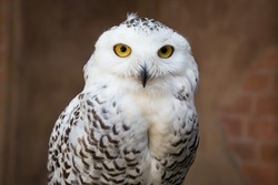 Polar owl close up. It always looking amazing on camera that beautiful
