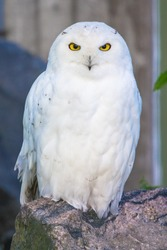 Polar owl male closeup