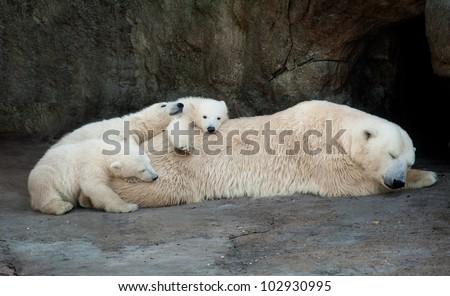Polar she-bear having a rest with three small bear cubs