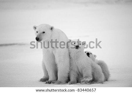 stock photo : Polar she-bear with cubs. A Polar she-bear with two small bear cubs. Around snow.Black and white photo.
