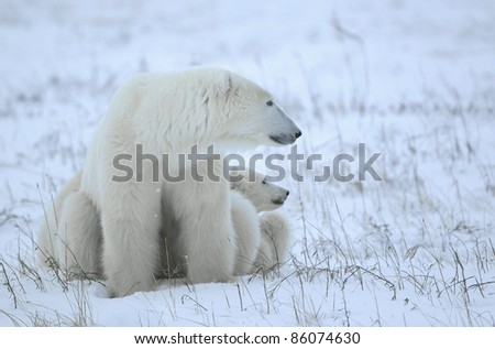 Polar she-bear with cubs on the snow.