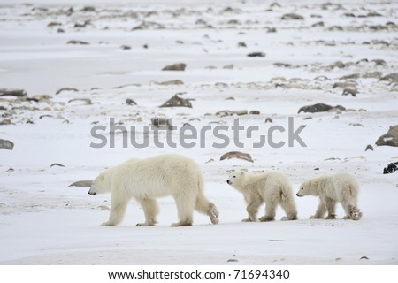 Polar she-bear with cubs. The polar she-bear  with two kids on snow-covered coast.