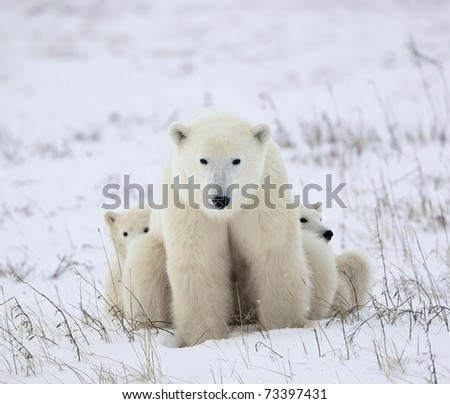 Polar she-bear with cubs. The polar she-bear  with two kids on snow-covered coast. - stock photo
