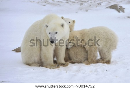 Polar she-bear with cubs. The polar she-bear  with two kids on snow-covered coast. - stock photo