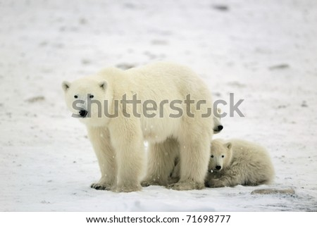 Polar she-bear with two cubs.Tundra.