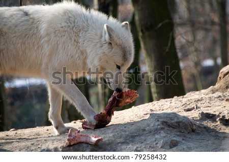 Polar wolf eats meat.