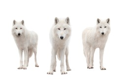 Polar wolfs isolated on a white background.