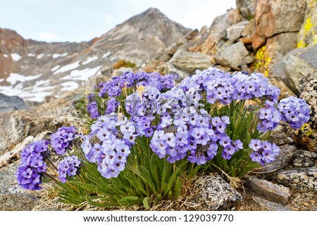 Polemonium Eximium Flower (Jacob's Ladder, Skypilot). Purple wildflower on mountain pass in the Sierra Nevada, California.