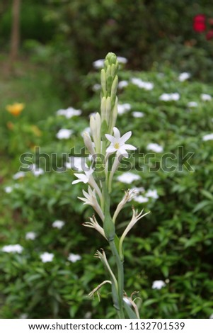 Polianthes tuberosa flowers, Tuberose on natural background.It is a perennial plant related to the agaves, extracts of which are used as a note in perfumery.In India it is called rajnigandha.