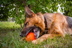 Police dog breed German shepherd cute playing orange ball in a green Park in the summer