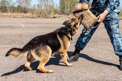 police dog. dog training german shepherd