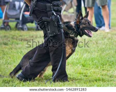 Police K9 working dog demo, narcotics search and criminal apprehension training, Belgian Malinois German Shepherd canine cop #1462891283