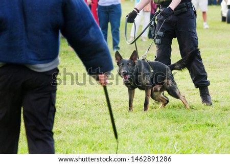 Police K9 working dog demo, narcotics search and criminal apprehension training, Belgian Malinois German Shepherd canine cop #1462891286