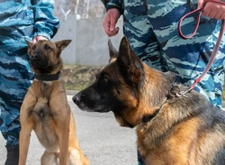 Police service dogs to protect the public from criminal attacks. German and Belgian shepherd in the cynological service of the police of the Russian Federation.
