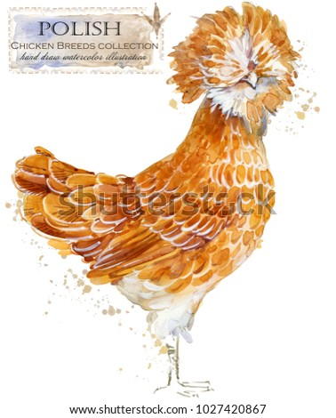 Polish hen. Poultry farming. Chicken breeds series. domestic farm bird