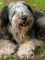 Polish Lowland Sheepdog sitting on green grass and showing pink tongue. Selective focus on a nose. Portrait of cute big black and white fluffy long wool thick-coated dog. Funny pet animals background