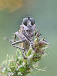 Polish macro of robber fly on his natural environment