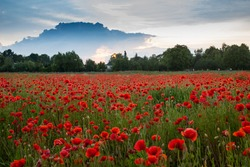 Polish red poppies blossom on wild field and blue sky. Field red polish poppies with selective focus. Red poppies in sunset light. Opium poppy. Glade of red poppies. Sunset landscape with poppy