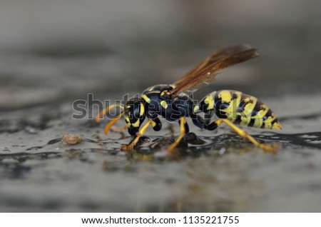 Polistes sp. wasp, Crete