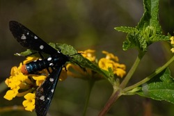 Polka-dot Wasp moth on a yellow flowering plant.