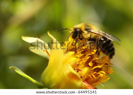 Pollen covered honey bee on a wild flower