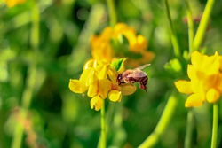 Pollinating bee, worker bee, pollinator worked