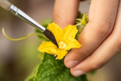 Pollination Of Cucumbers. Child Hands Pollinating Blossom Of Cucumber By Paintbrush In Garden Close Up.