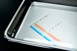 Polyacrylamide gel including separated protein ladder markers and protein samples on stainless steel tray